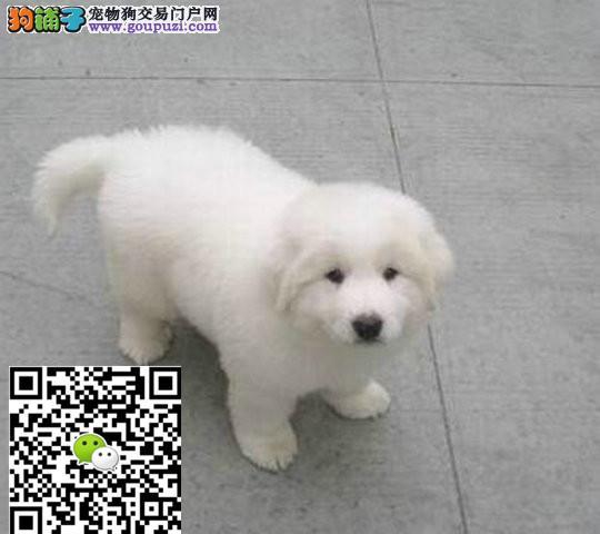 上海大白熊多少钱上海大白熊哪里卖大白熊价格