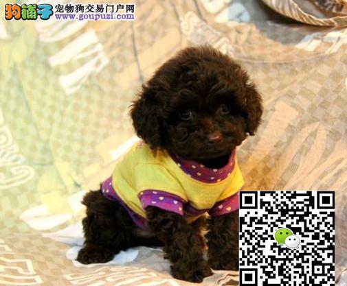 上海哪里出售泰迪上海泰迪犬多少钱一只茶杯泰迪价格