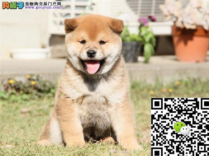上海柴犬多少钱一只 上海哪里卖柴犬 柴犬多少钱