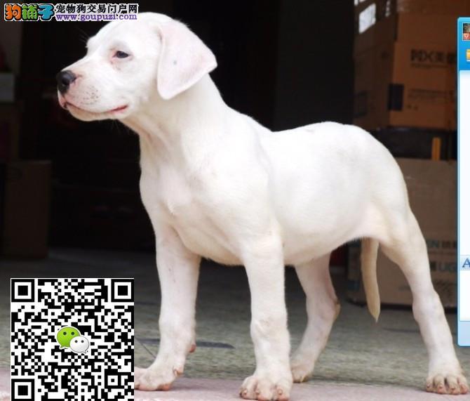 上海杜高犬多少钱一只上海杜高犬哪里有卖