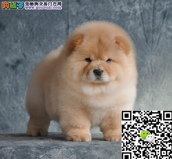 上海松狮犬多少钱上海松狮犬哪里出售