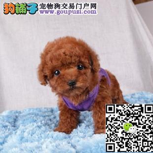 上海哪里出贵宾犬上海贵宾犬多少钱一只