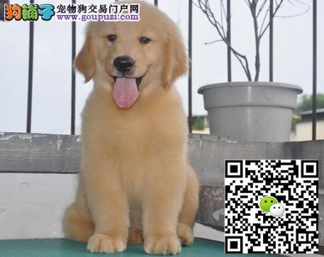 上海哪里出售金毛上海金毛多少钱一只