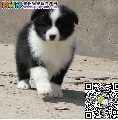 上海哪里出边境牧羊犬上海边境牧羊犬多少钱边牧多少钱