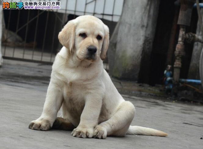 正规犬舍繁殖精品纯种拉布拉多犬签订协议品质保障