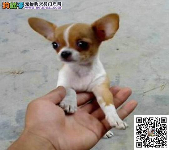 纯种犬繁殖基地专业缔造优质吉娃娃犬已驱虫健康保证