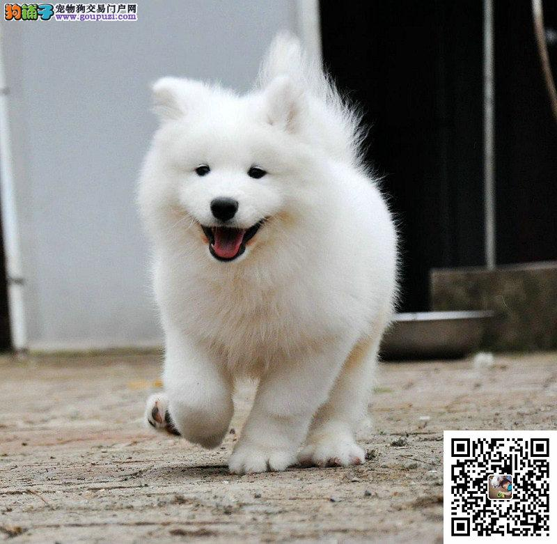 微笑天使萨摩耶幼犬 血统纯正聪明萨摩耶小狗