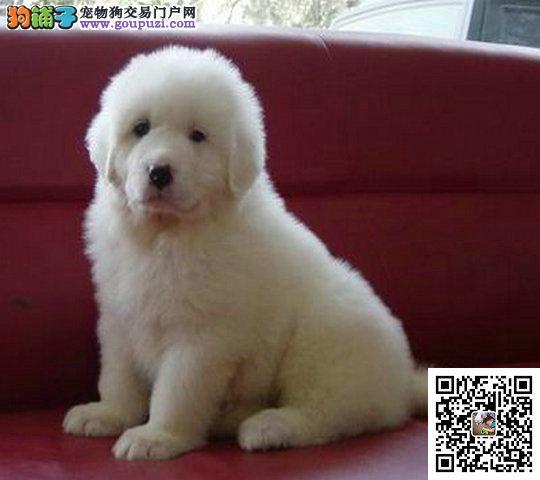 出售宠物狗大头长毛大白熊幼犬 品种纯正