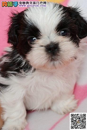 纯种繁殖基地出售纯种西施幼犬保纯种