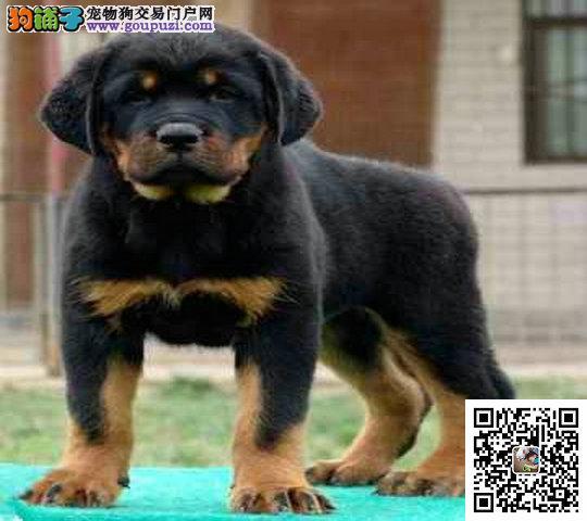 纯种罗威那幼犬,凶猛威武,很漂亮哦,