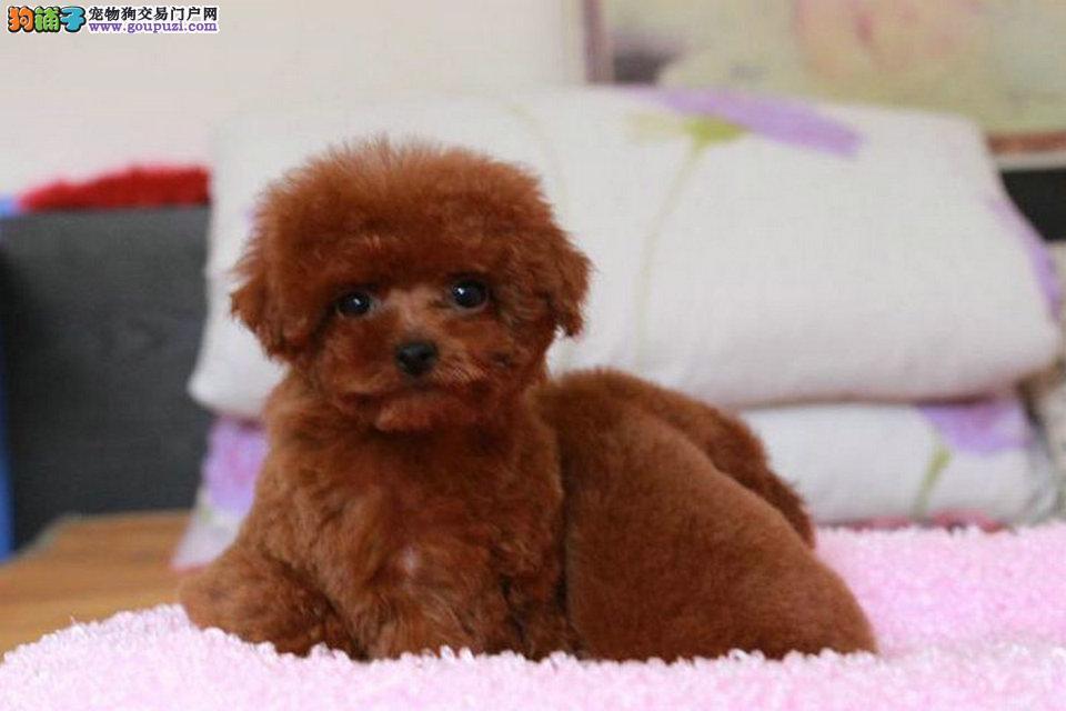 上海出售纯种健康泰迪幼犬 红色白色