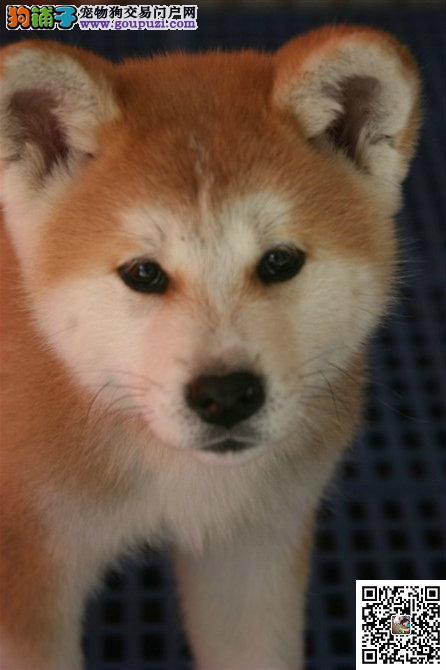 出售狗场繁殖纯种秋田幼犬公母都有 健康质保