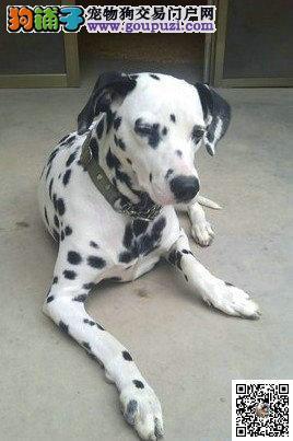 顶级双血统斑点狗出售中证书齐全