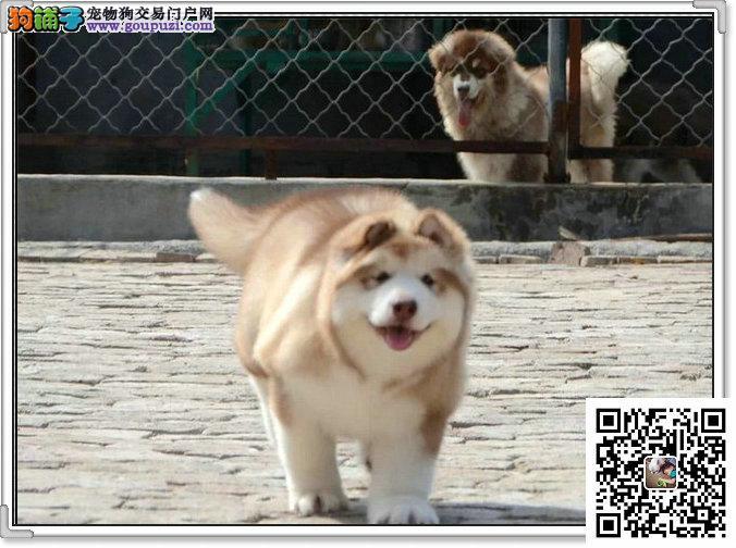 纯种巨型阿拉斯加犬 大骨量大毛量阿拉小狗
