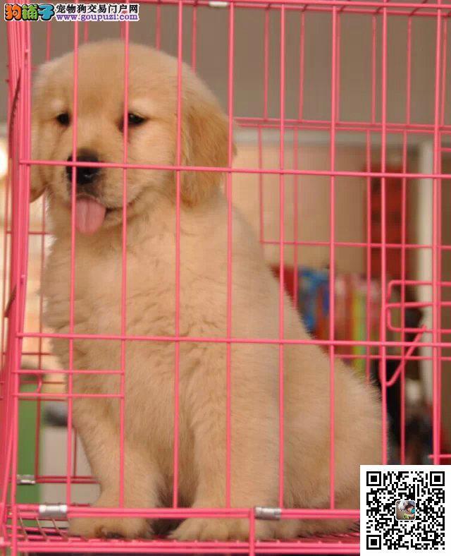 专业繁殖出售纯种精品金毛幼犬 活泼可爱