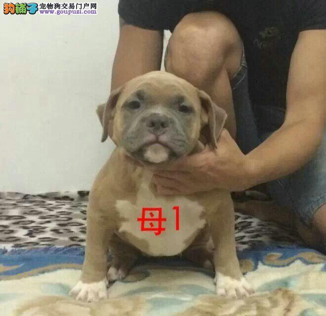 精品恶霸犬保证纯种健康终身售后服务欢迎视频挑选