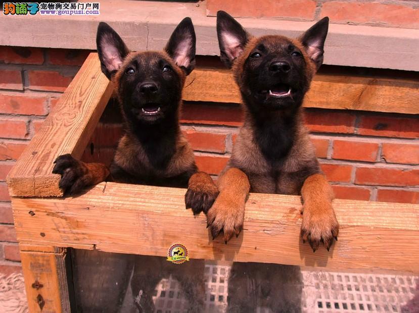 纯种军用犬,马犬出售,百分百纯种健康,签协议包养活