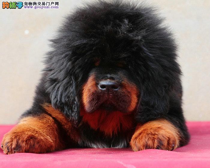 专业基地繁殖狗场直销藏獒犬 保健康品质