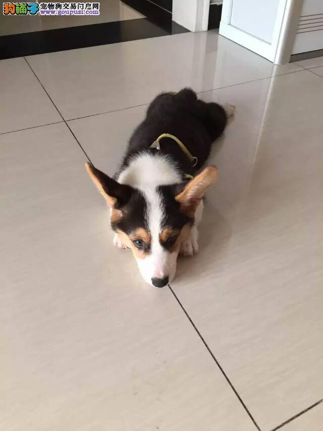 短腿肥臀柯基犬 三色双色均有 纯种健康