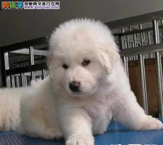 纯种大白熊犬幼犬出售,健康纯种多只可选