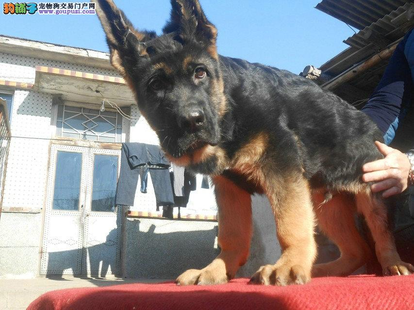 纯种黑背德国牧羊犬幼崽出售包健康出售幼犬德牧可上门