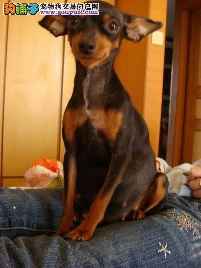 纯种小鹿幼犬出售包纯种 包建康 包养活
