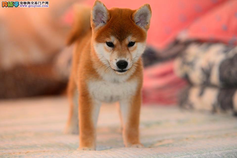出售纯种健康的柴犬幼犬活泼靓丽色泽纯正