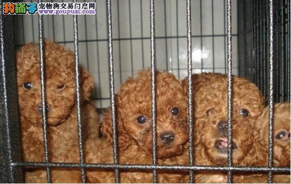 云南泰迪犬专卖 云南泰迪小狗出售 云南纯种泰迪犬价格