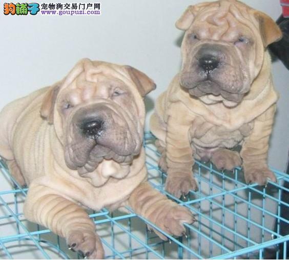 云南沙皮犬专卖 云南出售沙皮小狗 云南纯种沙皮犬价格