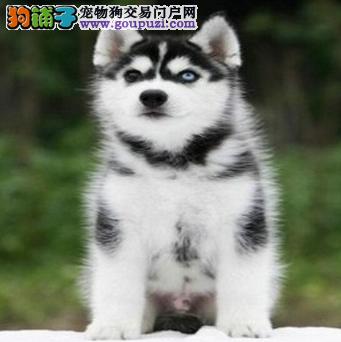 纯种哈士奇,哈士奇幼犬,三火蓝眼哈士奇幼犬