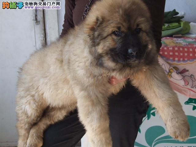 出售高品质赛级直系一熊版高加索幼犬购买签协议保健康