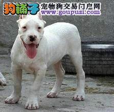 杜高犬出售疫苗做齐纯种健康签收后协议质保三年可送货
