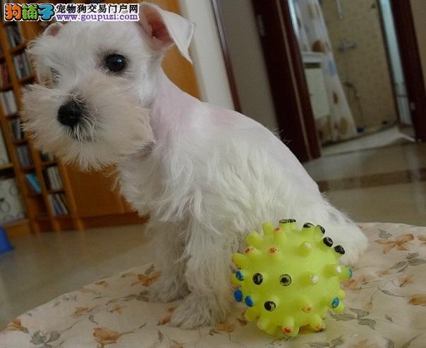 精品雪纳瑞幼犬在售专业犬舍繁殖健康纯种欢迎上门选购