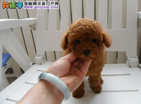 贵宾犬 纯种健康 签协议 可见父母 疫苗齐全