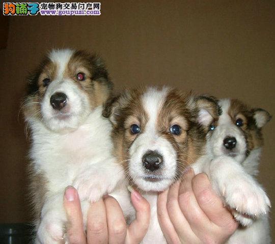正规狗场繁殖纯种 苏牧幼犬 赛级品质 、支持送货