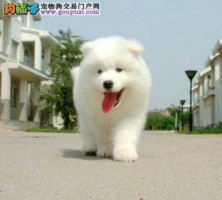 赛级萨摩耶幼犬 纯种萨摩耶宝宝 包纯种健康 签协议