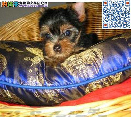 约克夏犬幼犬纯种出售金头银背可上门看狗的