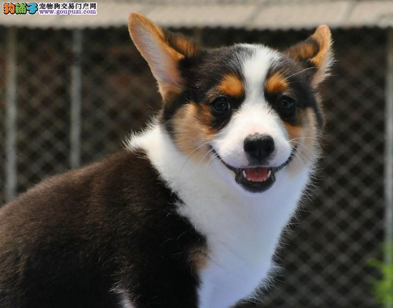纯种柯基犬繁殖基地出售两色三色柯基宝宝 纯种健康