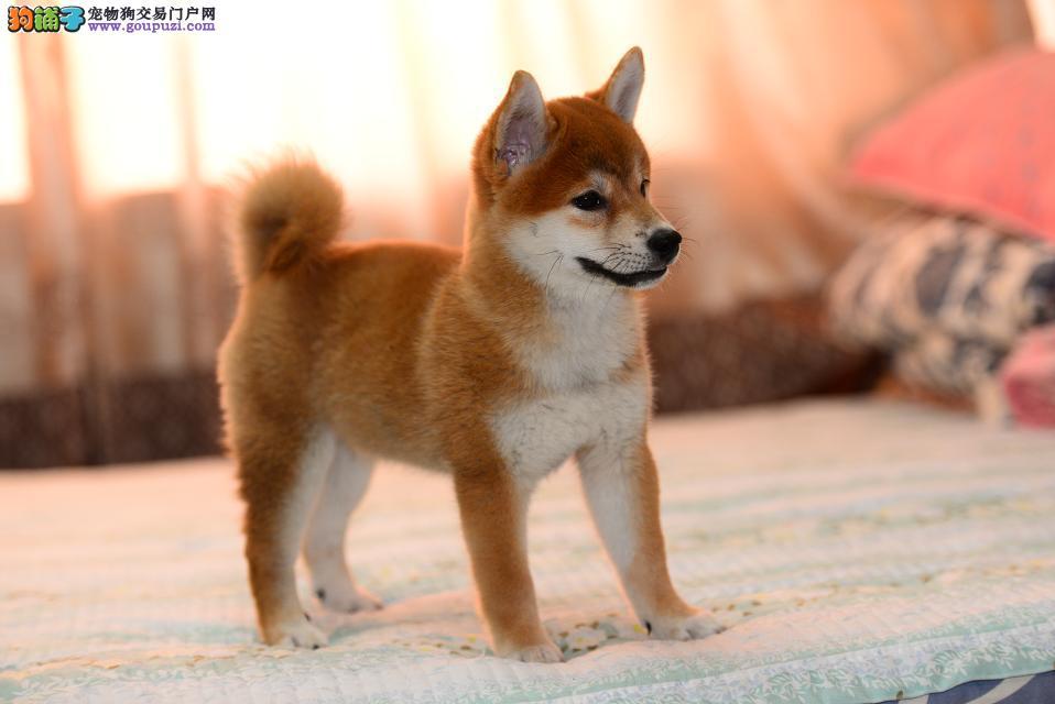 西安家养赛级柴犬宝宝品质纯正均有三证保障