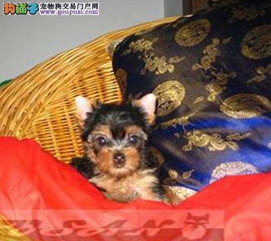 超小体 精品 约克夏幼犬出售 金头银背 健康包活