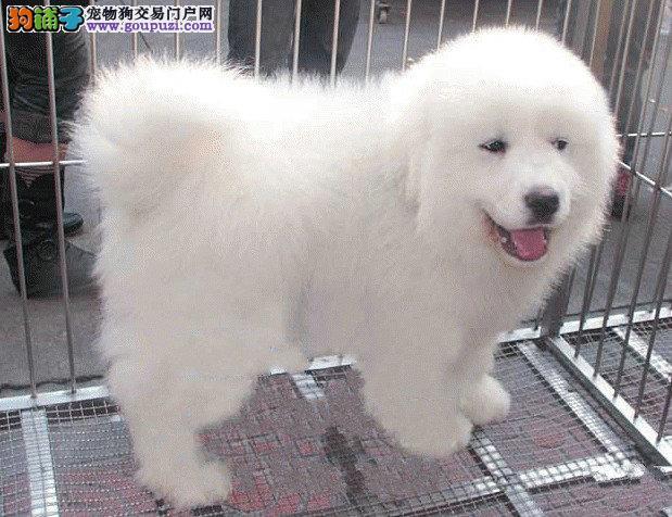 出售纯种大白熊幼犬 公母都有 疫苗已做健康保证