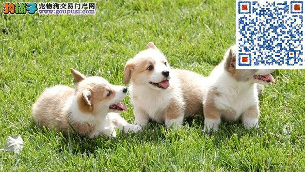 大家让让 三色可爱萌柯基犬。今日特价,来拿价格优惠