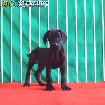 吐鲁番出售大丹犬颜色齐全公母都有品质保障可全国送货