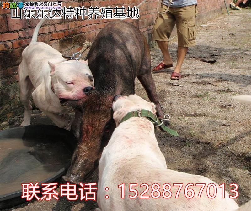常年出售杜高犬,各种名贵犬种。猛犬猎犬