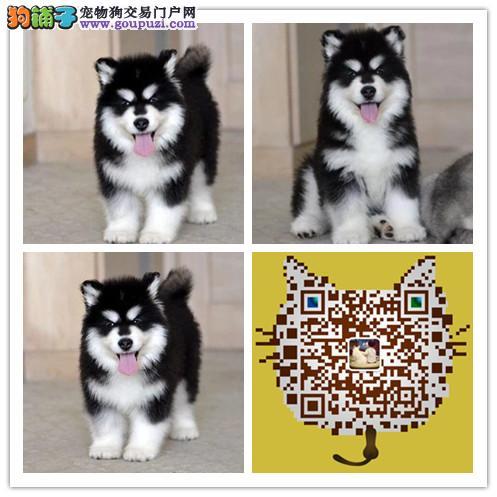 cku认证 犬舍直销 半价精品狗狗 可上门 纯种阿拉斯加