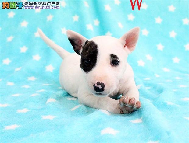 长沙出售纯种强壮、敏捷而且勇敢的牛头梗幼犬