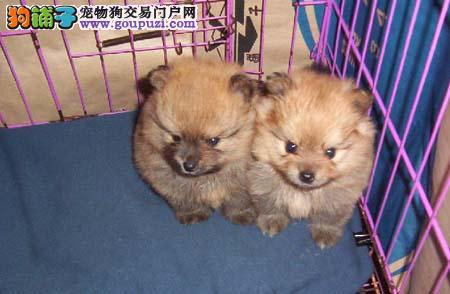 海南哪里卖宠物犬 海南最好的犬舍