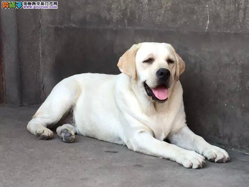 高品质拉不拉多幼犬,2到3个月实物照