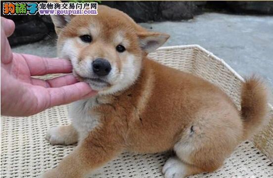 曲靖哪里能买到纯种柴犬 云南地区纯种柴犬价格