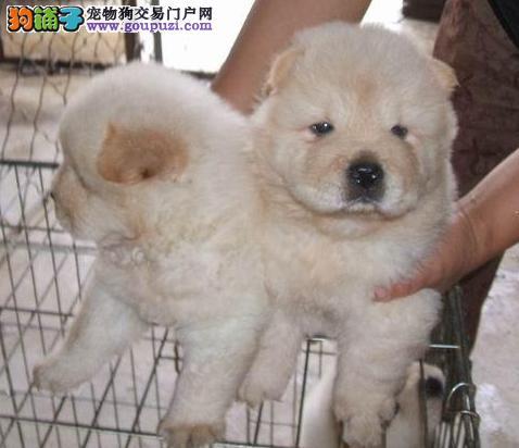 保山哪里卖纯种松狮犬 保山哪里买狗最好